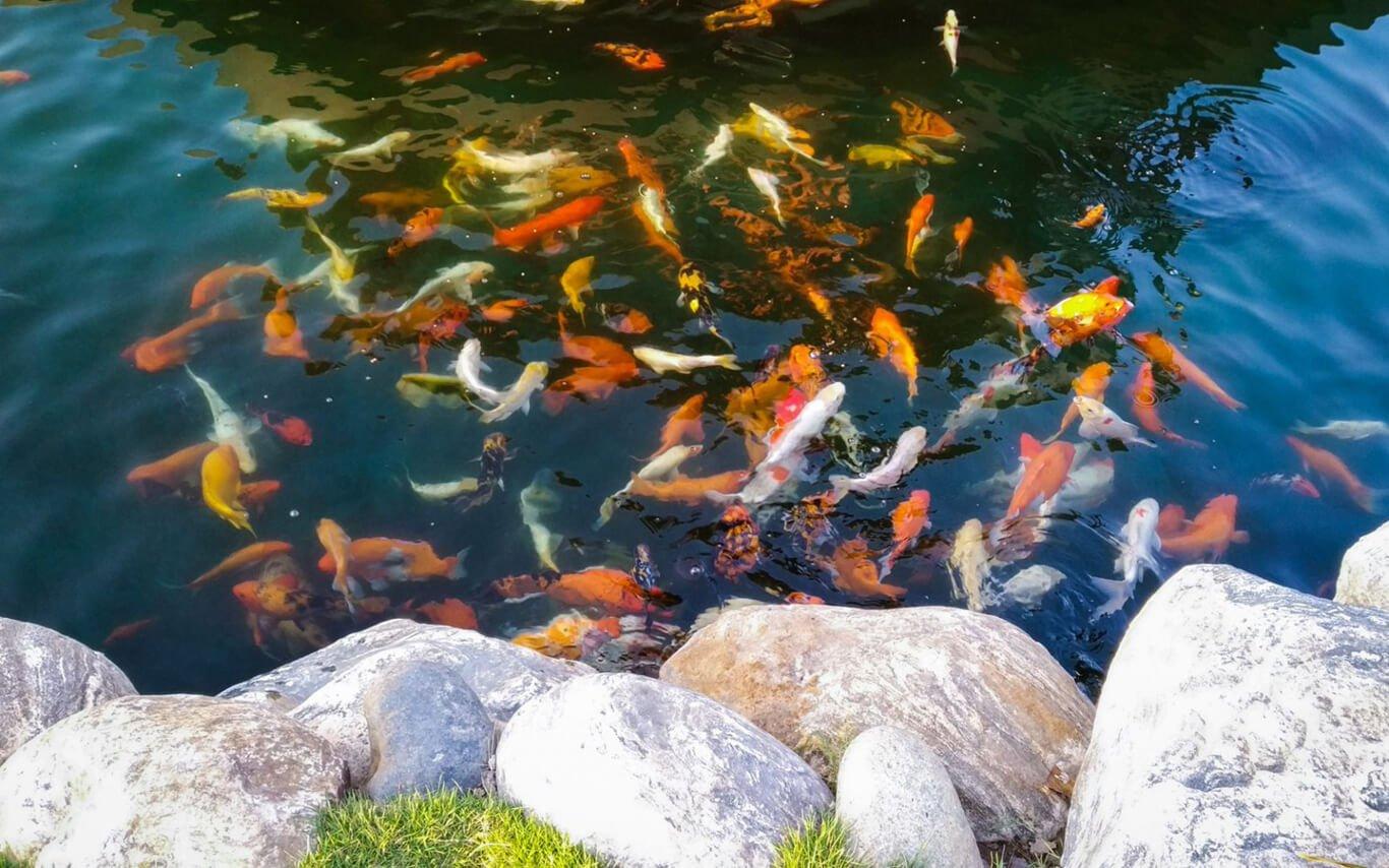 hồ cá koi trong công viên nghĩa trang hoa viên bình an